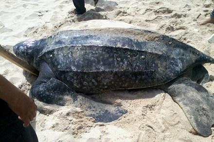 Rùa luýt đang đứng trước nguy cơ tuyệt chủng
