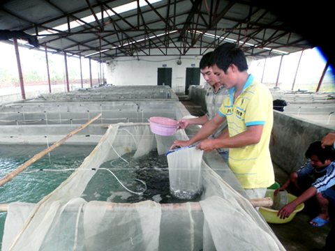 sản xuất cá song