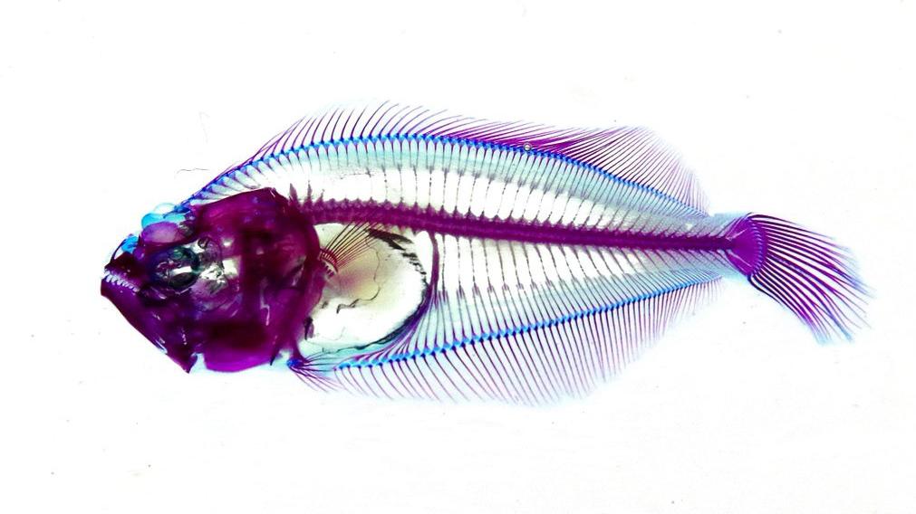 Kích thích tăng trưởng trên cá bằng B-Glucooligosaccharide