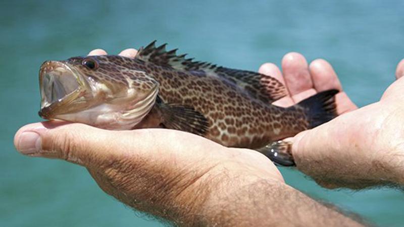 Củ điền thất thúc đẩy nhanh tăng trưởng của cá mú