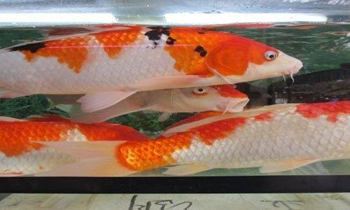 Cá Chep Koi Ong Tao