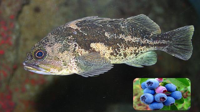 Hỗn hợp cây yacon, gừng và việt quất giúp cá chống lại Edwardsiella tarda