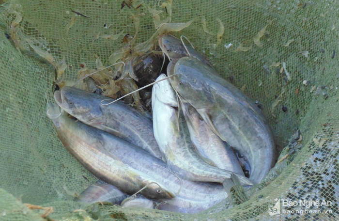 thủy sản sạch, nuôi cá ở Con Cuông, thủy sản sạch ở Con Cuồng, cá lồng