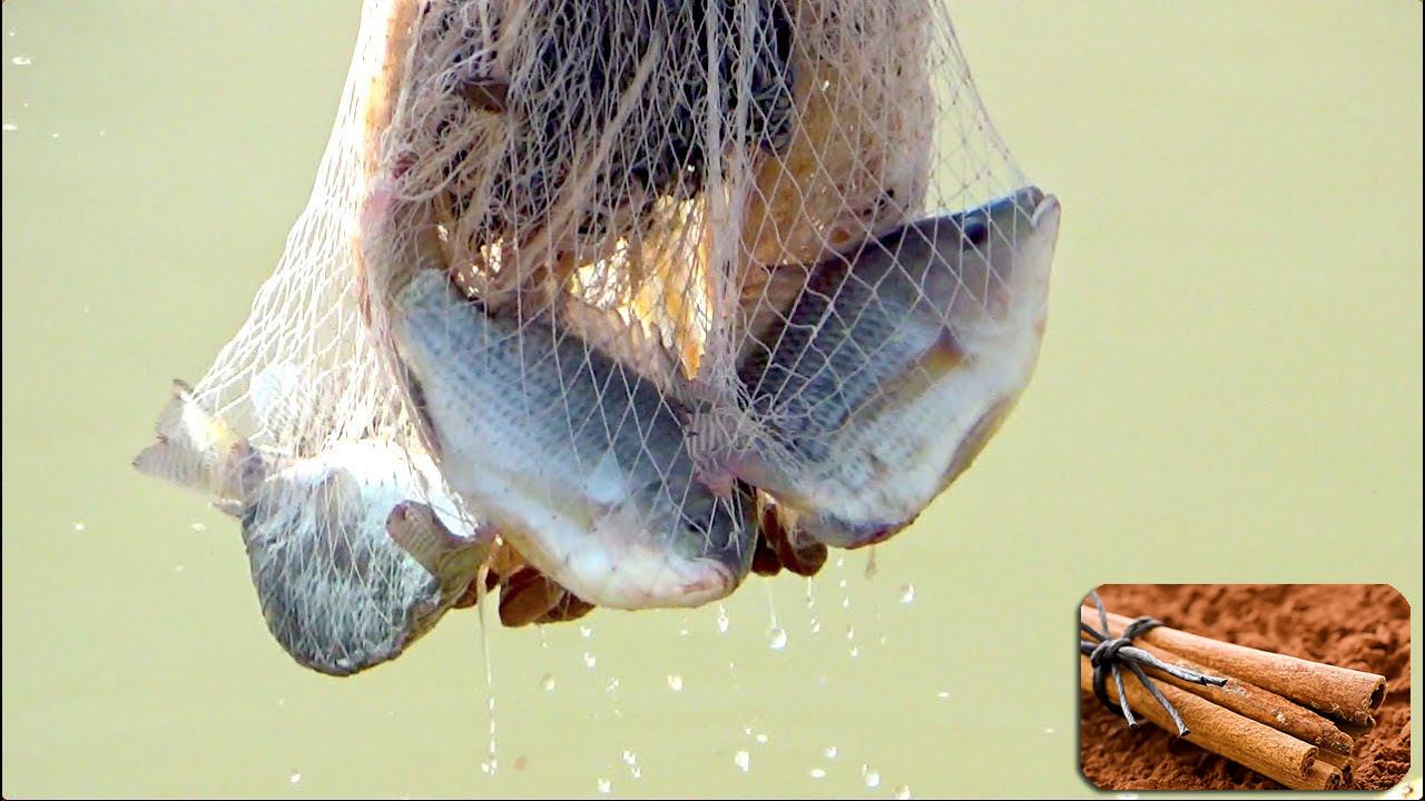 Bột và tinh dầu Quế giúp cá chống lại stress hiệu quả