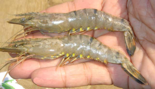 bệnh đốm trắng xuất hiện hầu hết các kênh rạch tự nhiên