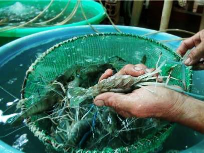 Tôm càng xanh: Sản xuất giống theo mô hình nước xanh cải tiến