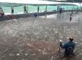 Cà Mau: Nuôi tôm siêu thâm canh 1.000m2 thu 9 tấn, thu lãi cao ngất