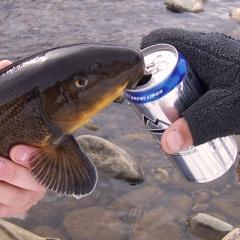 Cá bám vây vào mạn thuyền để uống bia