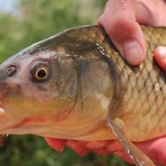 Biện pháp chuẩn nhanh bệnh KHV trên cá chép