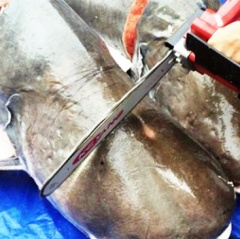 Ai cứu cá tra dầu khủng quý hiếm trên sông Cửu Long?