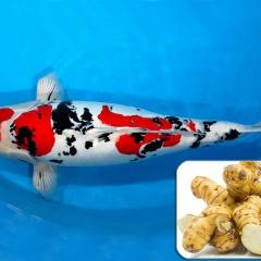 Riềng nếp - Phương pháp tự nhiên mới gây mê trên cá