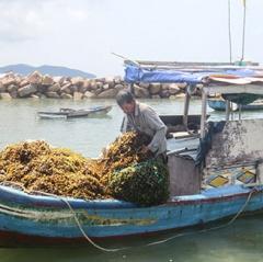 Nha Trang: Loay hoay tìm giải pháp cho rong mơ