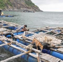 """""""Lênh đênh"""" nghề nuôi cá bớp"""