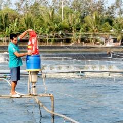 Quy hoạch nuôi tôm siêu thâm canh tập trung ở Cà Mau