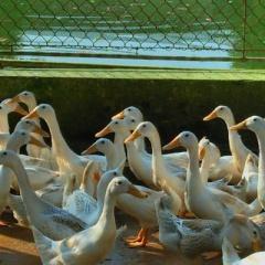 Mô hình nuôi vịt đẻ trứng kết hợp nuôi cá theo hướng an toàn sinh học
