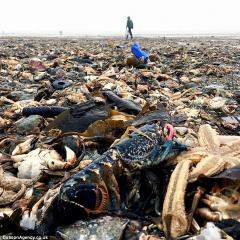 Thảm họa kết hợp sinh vật biển chết như ngả rạ