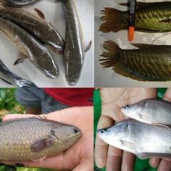 Hậu Giang: Tìm đầu ra cho loài thủy sản nước ngọt