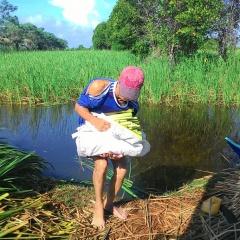 Tập huấn kỹ thuật trồng Bồn Bồn kết hợp nuôi cá đồng