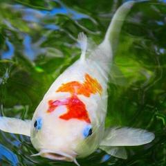 Bìm bịp giúp cá Koi chóng lại bệnh do virus