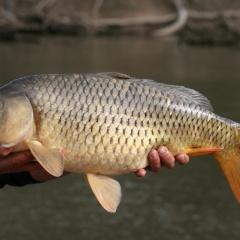 Thúc đẩy tăng trưởng và chuyển hóa chất béo trên cá bằng XOS