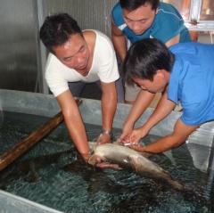 Tuyên Quang: Sản xuất cá chiên giống quy mô lớn