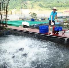 Nuôi cá sạch theo mô hình VietGAP ở Na Hang