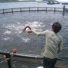 Vươn ra biển lớn... nuôi cá