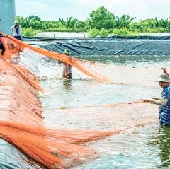 Cái Nước siết chặt quản lý nuôi tôm siêu thâm canh