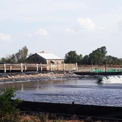 Nắng nóng kéo dài hàng ngàn ha tôm ở Cà Mau thiệt hại