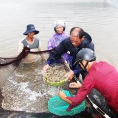 Tuy Phước (Bình Định) có 1,62 ha tôm nuôi bị vi rút đốm trắng