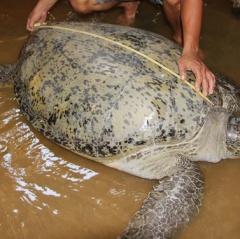 Bến Tre: Rùa 120 kg được thả về biển
