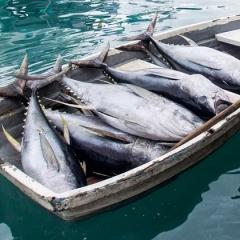 Năm 2018 sản lượng cá ngừ phía Đông Thái Bình Dương giảm