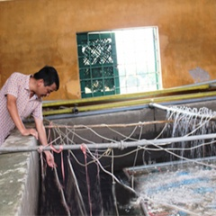Nam Định: Sản xuất thành công giống cá chép lai