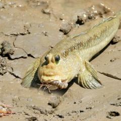 Thú nuôi độc lạ: Nuôi cá thòi lòi làm cảnh