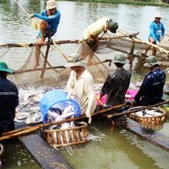 Chuyên nghiệp hóa vùng nuôi cá tra thương phẩm!