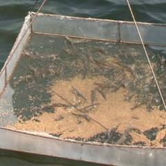 Tôm nuôi Ninh Thuận nhiễm đốm trắng và có dấu hiệu lây lan