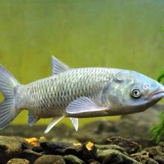 Hiệu quả vaccine phòng bệnh xuất huyết trên cá