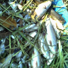 Hải Phòng: Cá chết hàng loạt nghi bị đầu độc bằng thuốc trừ sâu