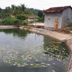 Kon Tum: Cá chết nổi trắng hồ, người chăn nuôi gặp khó khăn