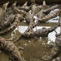 Khuyến cáo người nuôi thận trọng trước việc giá cá sấu tăng trở lại