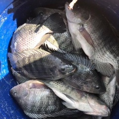 Giá bán một số loài cá nước ngọt trên địa bàn Cần Thơ