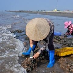 Nhặt đặc sản vẹm xanh trên biển, ngư dân thu tiền triệu mỗi giờ