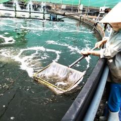Điển hình nuôi tôm siêu thâm canh trong hồ tròn nổi