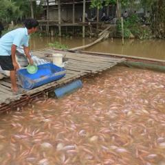 Mất ăn mất ngủ vì giá cá điêu hồng lao dốc