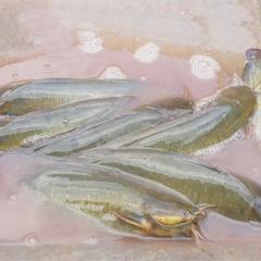 Dưới nuôi cá trên trồng đinh lăng, mỗi năm kiếm cả trăm triệu đồng