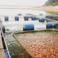 Lão nông tâm huyết với nghề nuôi cá lồng trên hồ chứa
