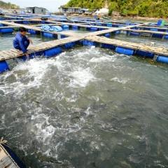 Áp lực dịch bệnh trên cá lồng nuôi Kiên Giang