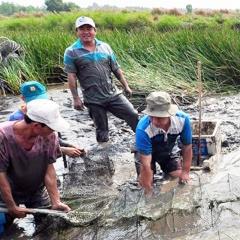 Cà Mau: Tổng sản lượng tôm càng xanh đạt 1.700 tấn