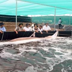 Bước tiến của ngành nuôi tôm Kiên Giang