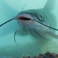 Nguyên liệu thảo dược mới tiềm năng cho cá da trơn